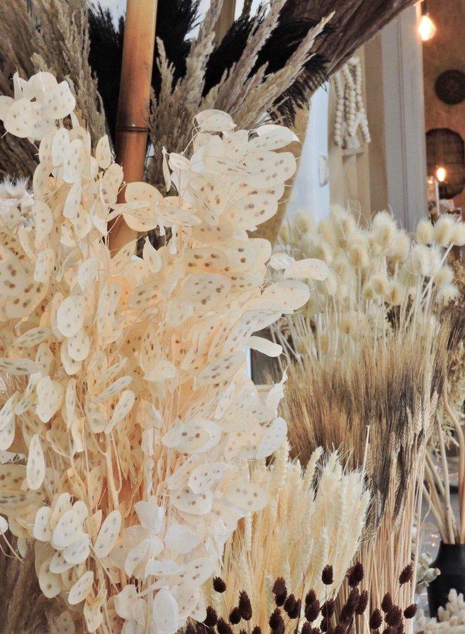 Gedroogde Lunaria Gebleekt - 75 cm - per bosje