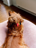 Merry Marie (Dog)Go Belgium halsband