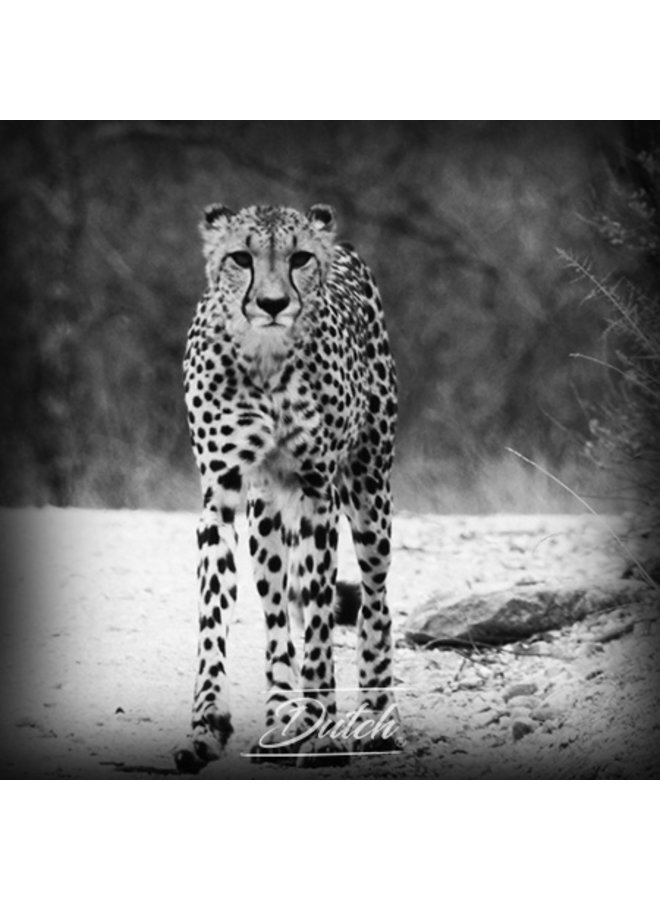 Out of Africa - Cheetah