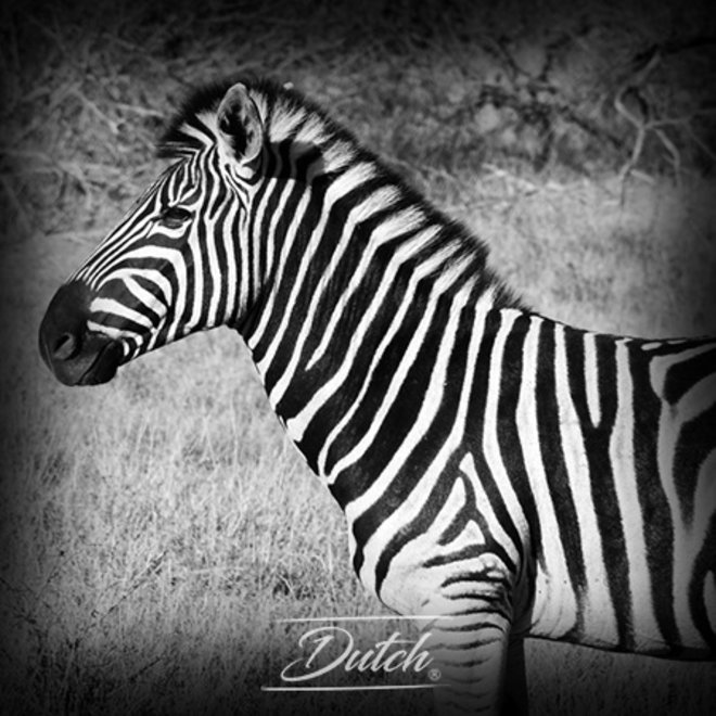 Out of Africa - Zebra