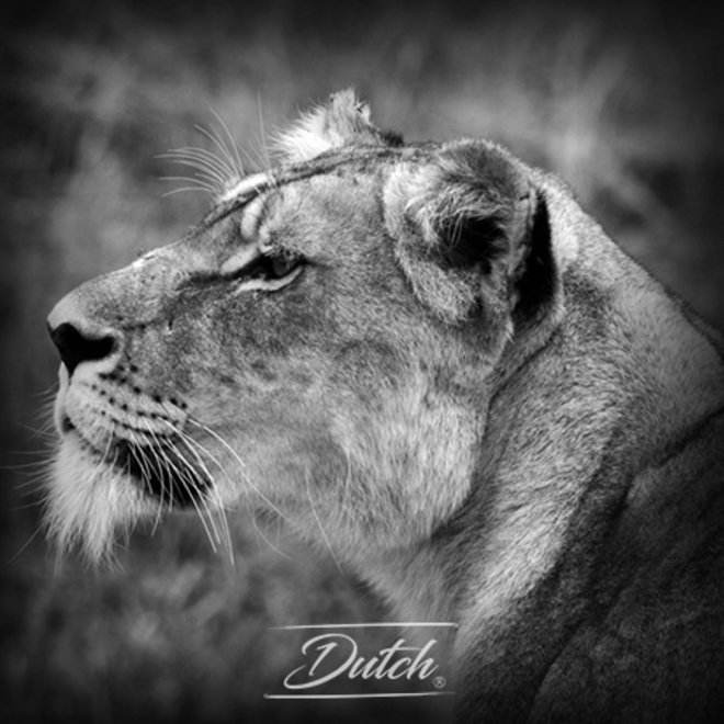Out of Africa - Lion