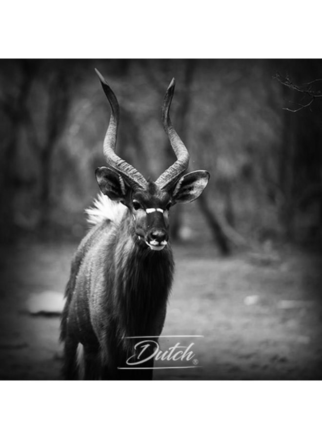 Out of Africa - Gazelle