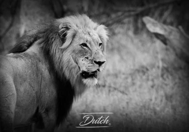 Out of Africa - Male Lion