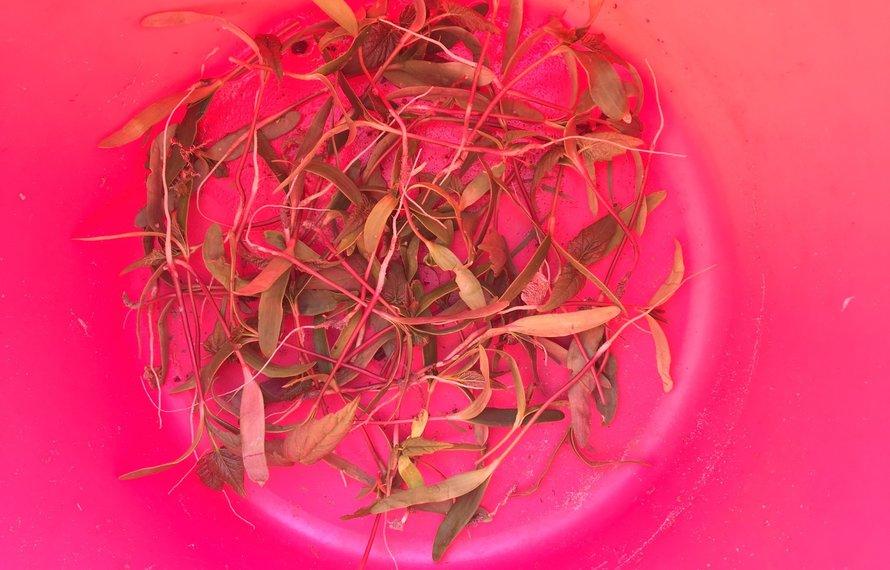 Giftige planten op de weide