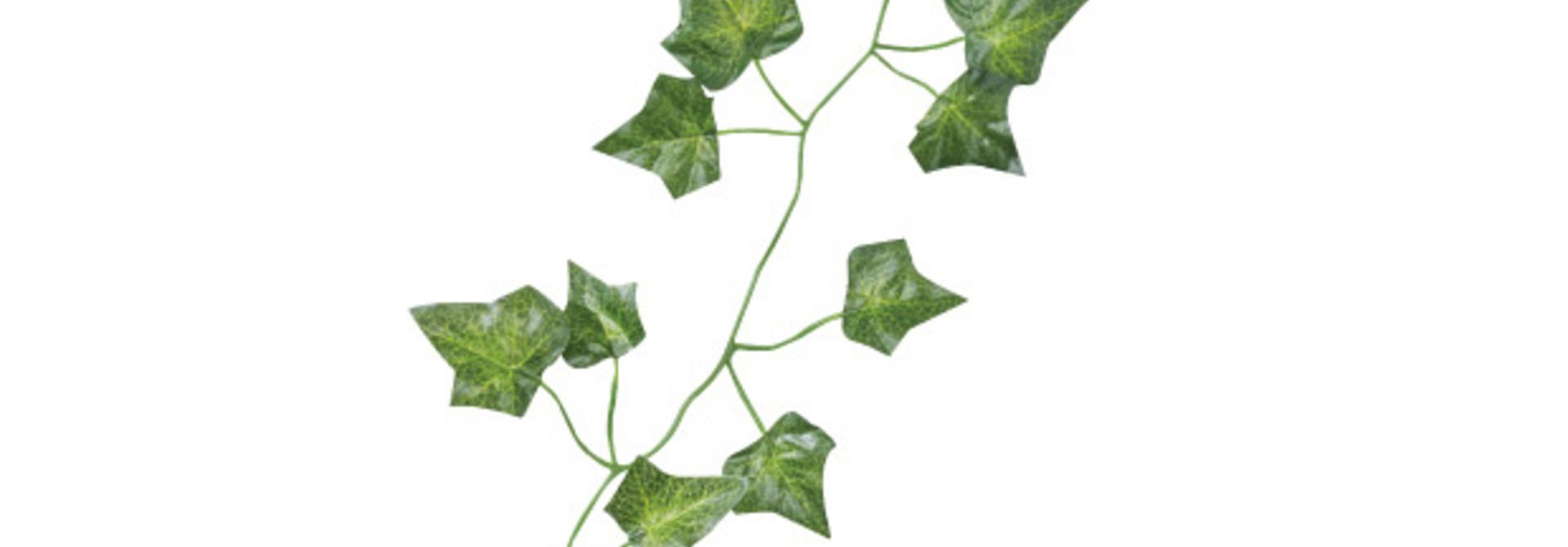 Decoratieve klimop 2m (5 st) Beautiful Botanics Ginger Ray