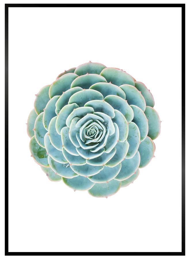 Cactus Rose Close up Poster