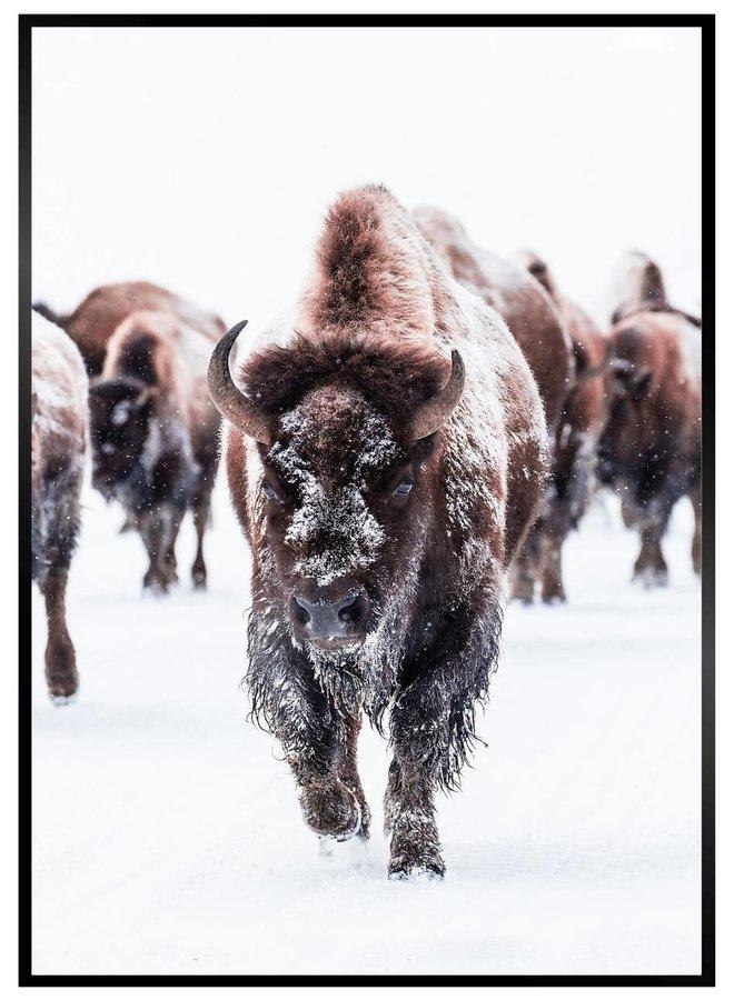 Buffalos Poster