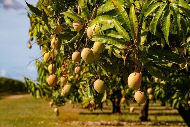 Wat is mangohout?