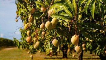 Qu'est-ce que le bois de mangue ?