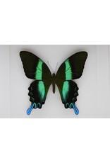 Nature Deco Papilio Blumei in luxury 3D frame 22x 22cm