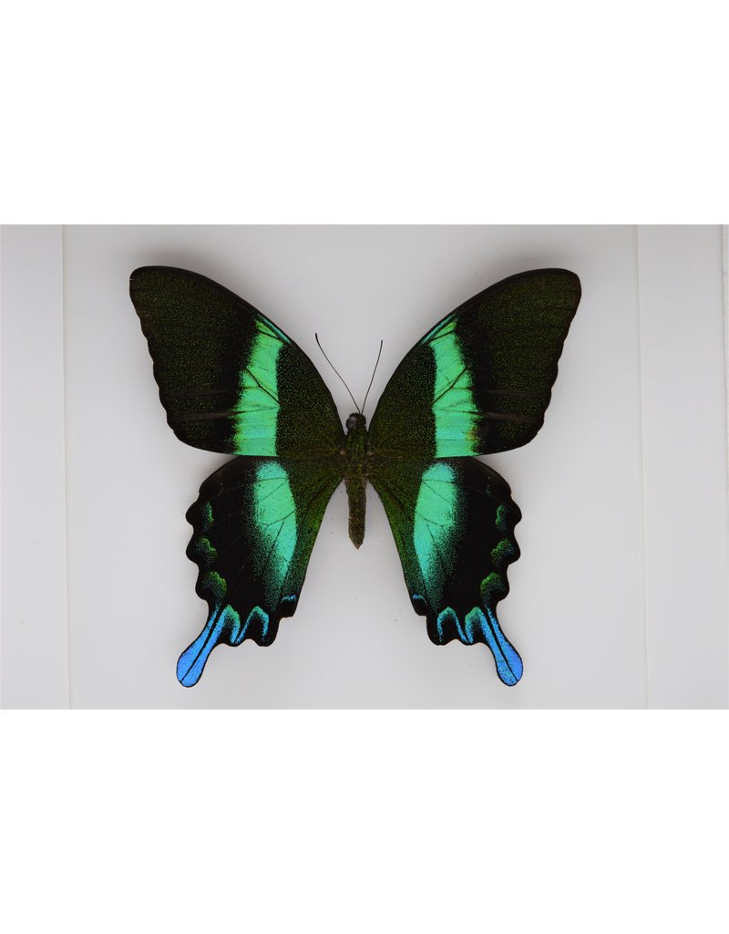 Nature Deco Papilio Blumei in luxe 3D lijst 22 x 22cm