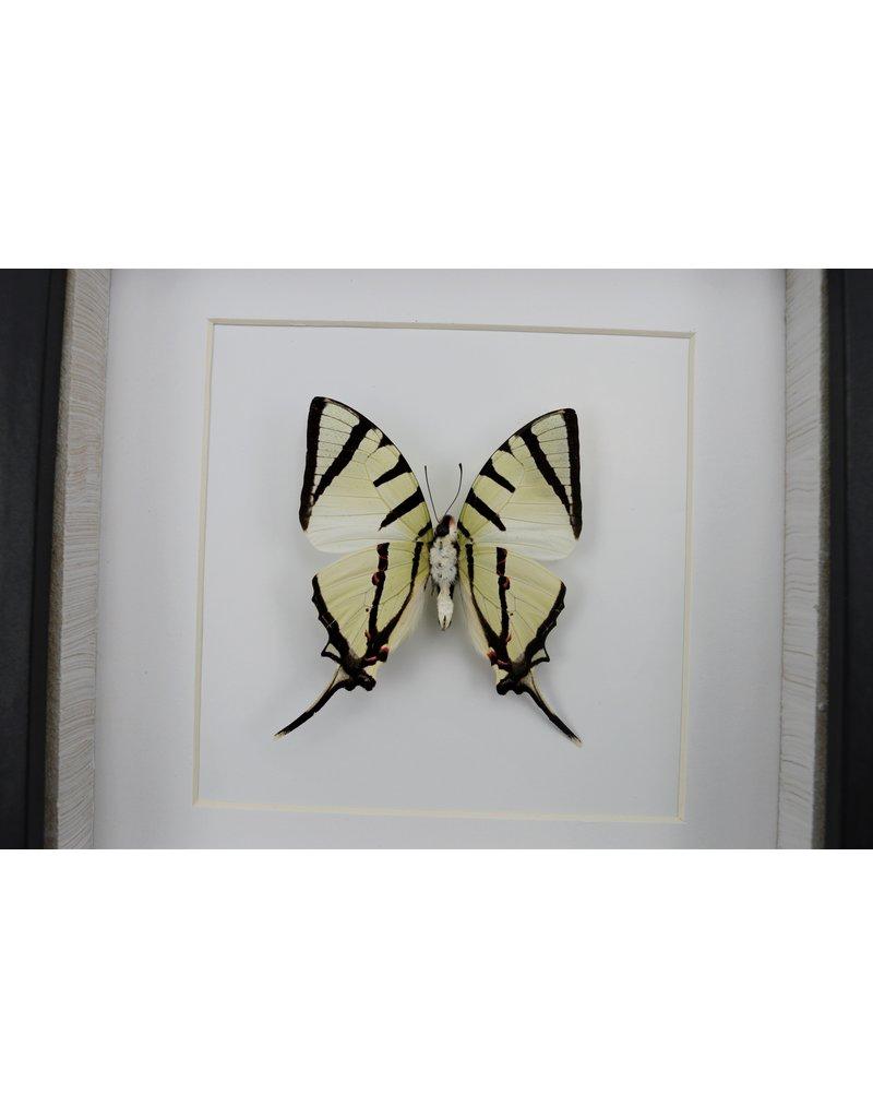 Nature Deco Graphium agetes onderkant in luxe 3D lijst 17 x 17cm
