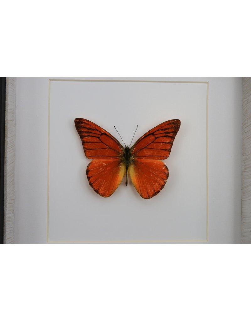 Nature Deco Appias Nero in luxe 3D lijst 17 x 17cm
