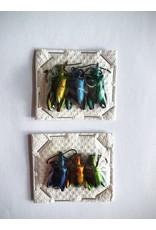 . Unmounted Sagra Longicollius 3 pieces