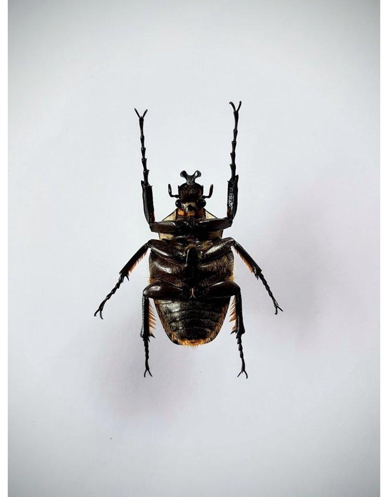 . Unmounted Goliathus Orientalis (man)