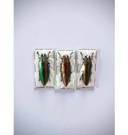. (Un)mounted Chrysochroa Aurora (Jewel beetle)