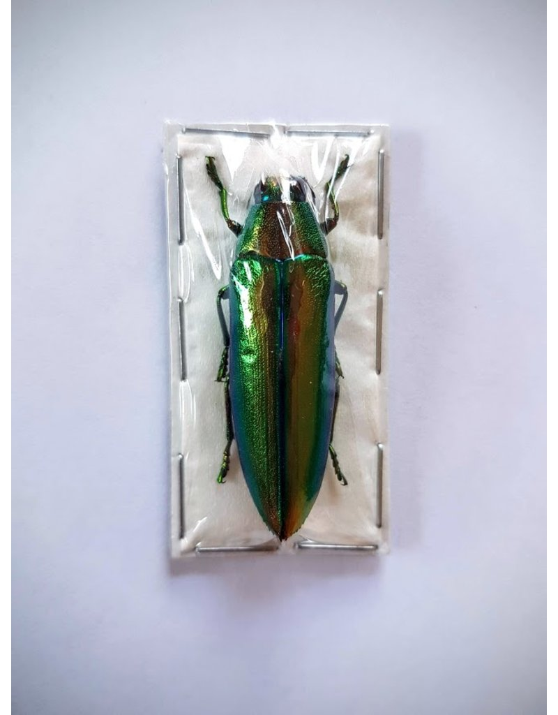 . (Un)mounted Chrysochroa Aurora (Jewel beelte)