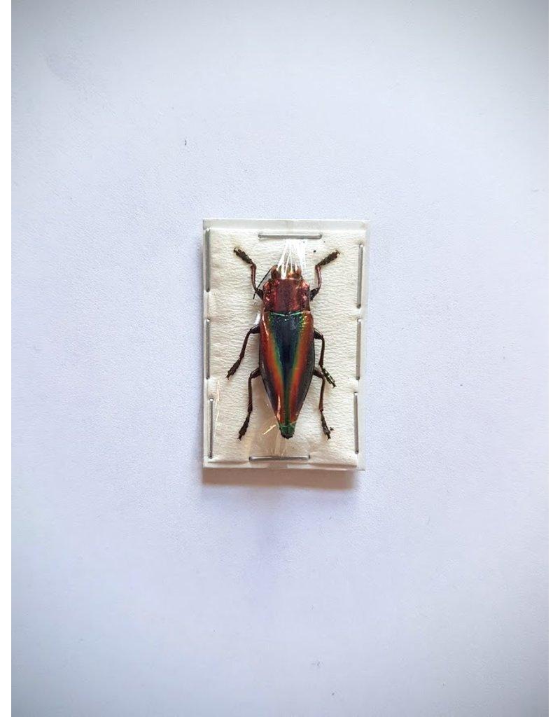 . (Un)mounted Cyphogastra Javanica (Jewel beetle)