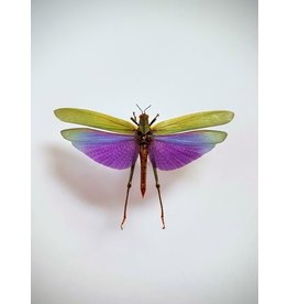 . Unmounted Lophacris Albipes (grasshopper)