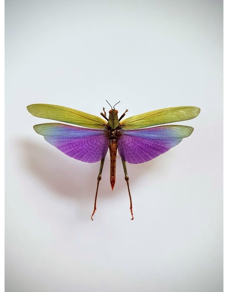 . UnmountedLophacris Albipes (grasshopper)