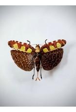 . (Un)mounted Sanaa Regalis (grasshopper)