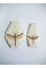 . (Un)mounted Necroscia species (Stick insect) Couple