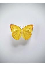 . Unmounted Catopsilia Pomona