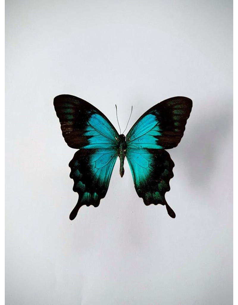. Unmounted Papilio Lorquinianus