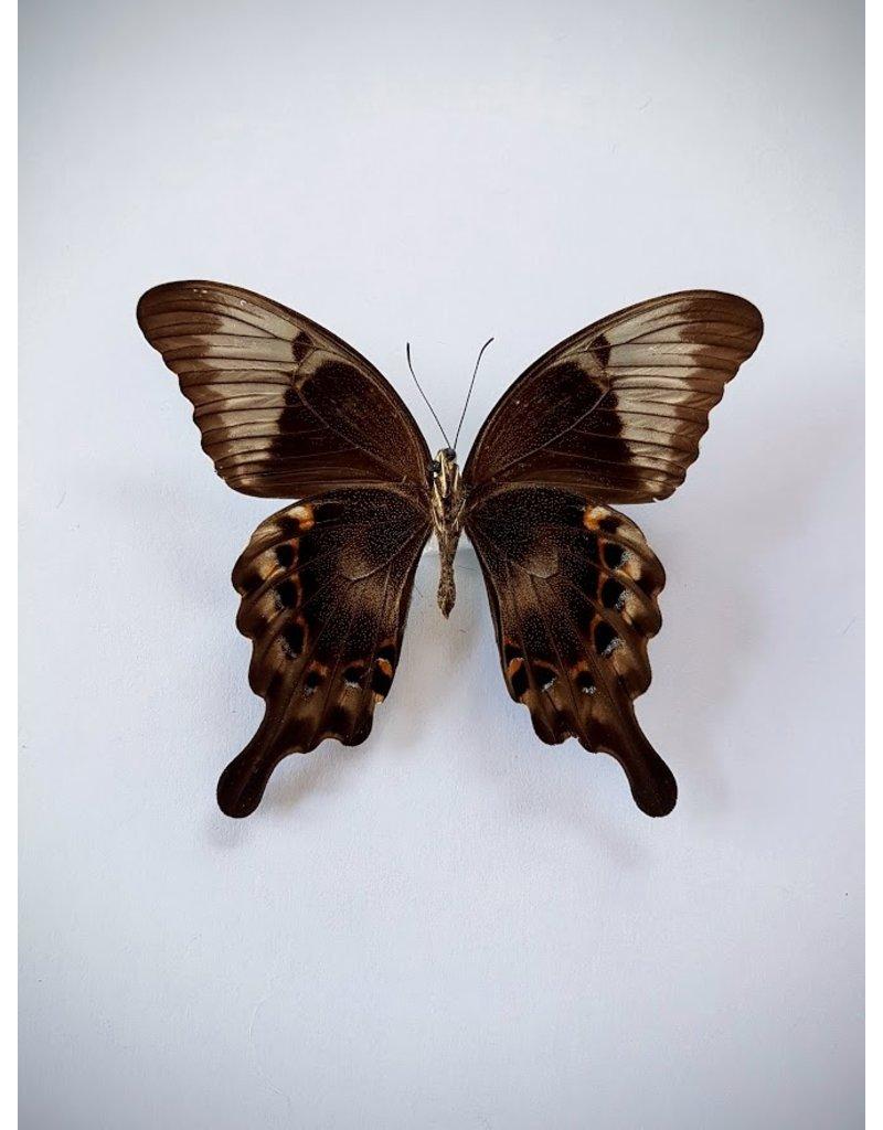 . Ongeprepareerde Papilio Peranthus Adamantius
