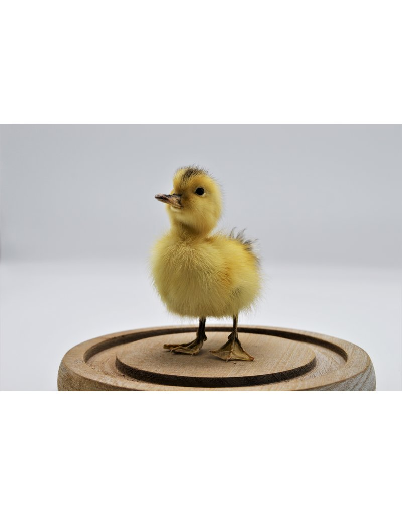 Nature Deco Mounted duckling in a glass dome