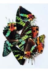 . Urania Ripheus buttefly wings  4 pieces