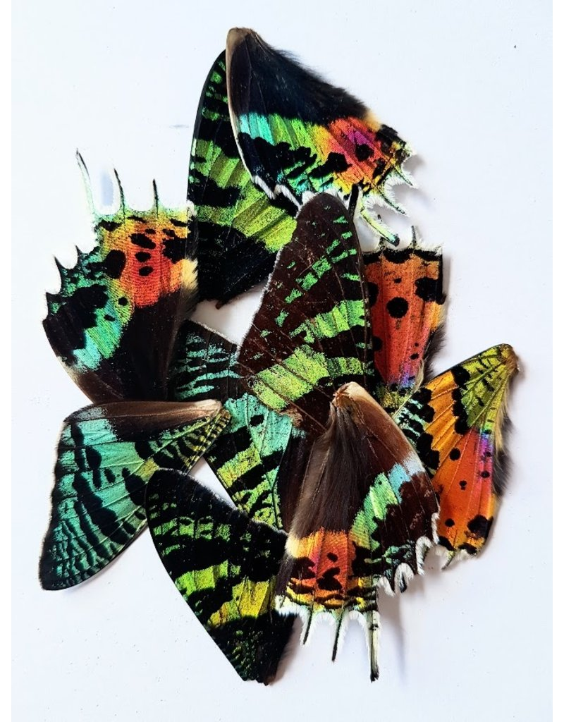 . Urania Ripheus vlinder vleugels 4 stuks