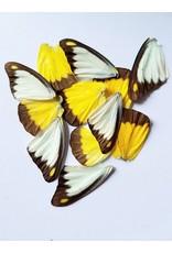 . Vlinder vleugels geel-wit 10 stuks