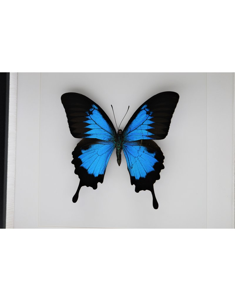 Nature Deco Papilio Ulysess in luxury 3D frame 22x 22cm