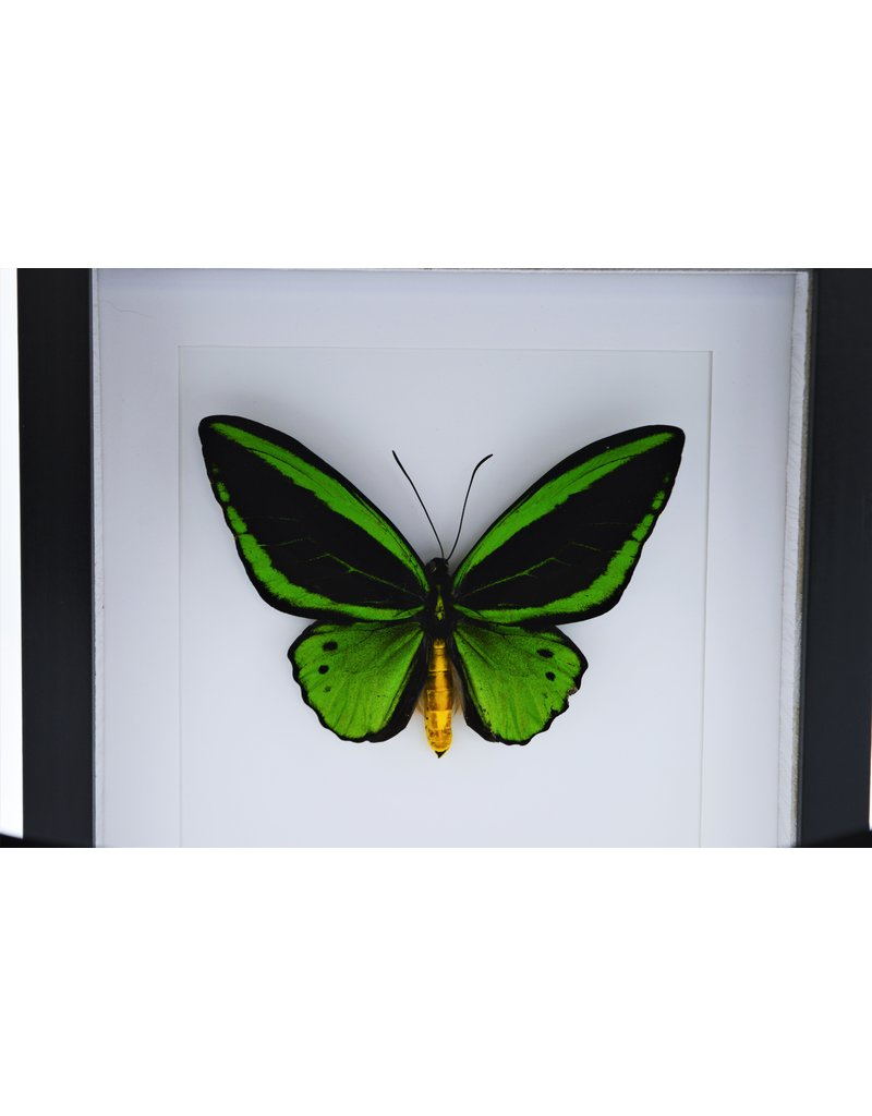 Nature Deco Ornithoptera Priamus Poseidon (male) in luxury 3D frame 22 x 22cm