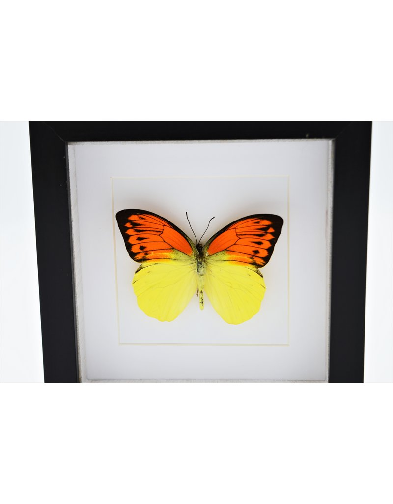 Nature Deco Hebomoia Leucippe Leucippe in luxury 3D frame 17x 17cm