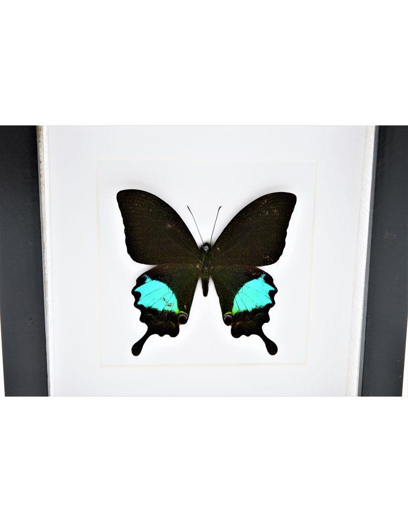 Nature Deco Papilo Paris Gedeensis in luxury 3D frame 17 x 17cm