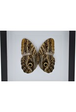 Nature Deco Caligo Telamonius (Owl eye butterfly) in luxury 3D frame 22 x 22 cm