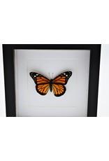 Nature Deco Danaus Plexippus (Monarch buttefly) in luxury 3D frame 17 x17cm