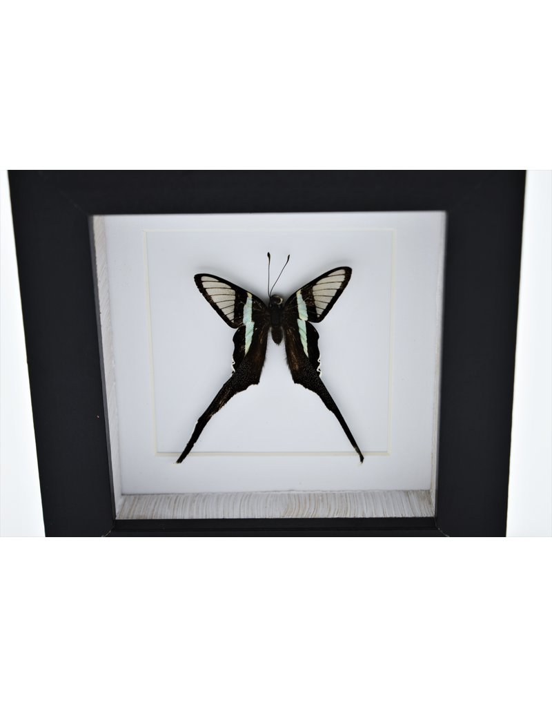 Nature Deco Lamproptera Curius in luxury 3D frame 12 x 12cm
