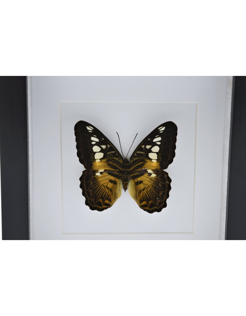 Nature Deco Parthenos Sylvia in luxe 3D lijst 17 x 17cm