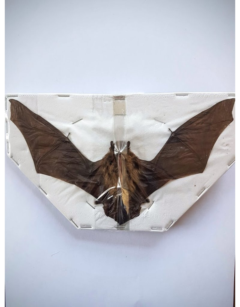 . Mounted Pipistrellus species (bat) flying