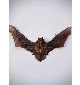 . Mounted Pipistrellus species (bat)