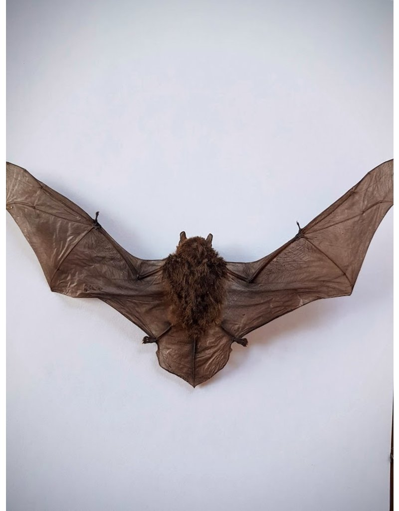 . Mounted Pipistrellus species (bat) flying