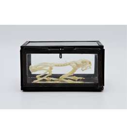 Nature Deco Frog skeleton in a box