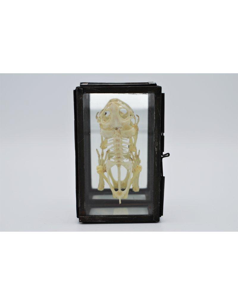 Nature Deco Kikker skelet in glazen box