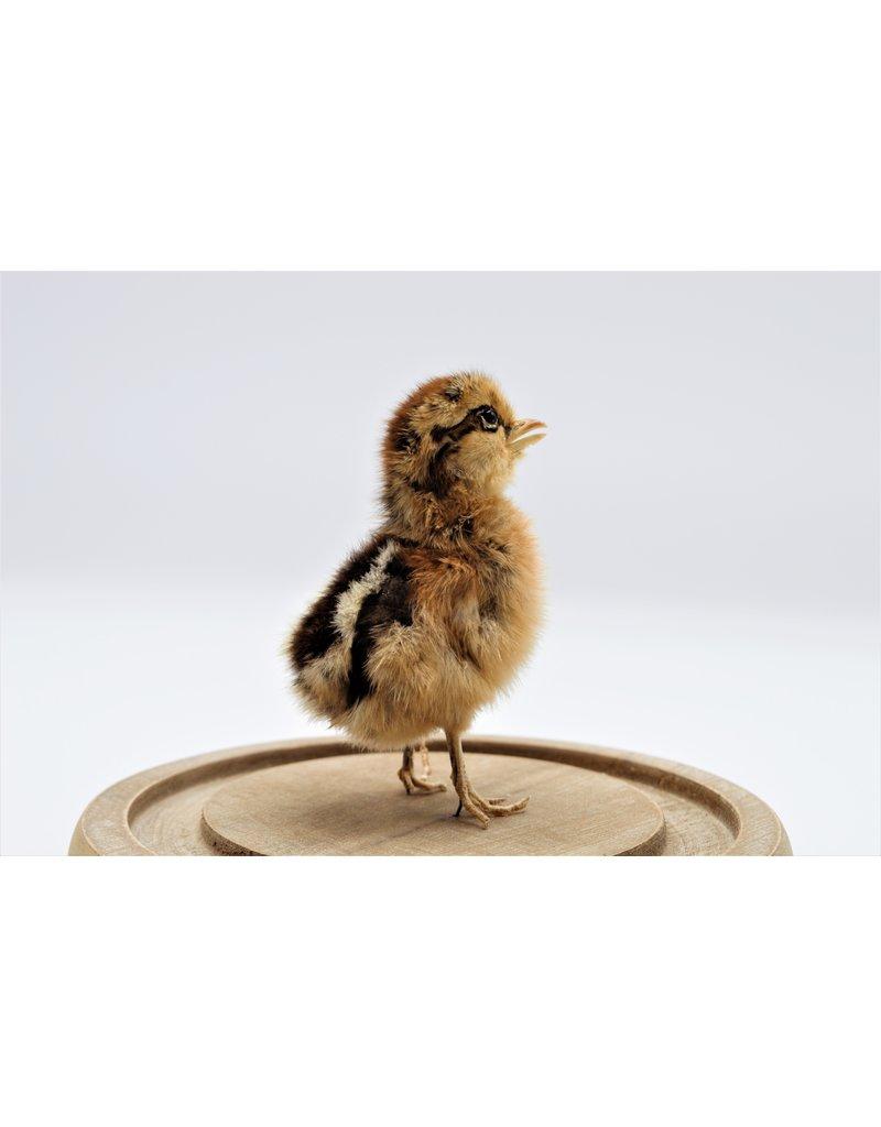Nature Deco  chickens chick in glass dome (17,5cm x 20,5cm)