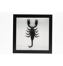 Nature Deco Mounted scorpion in frame