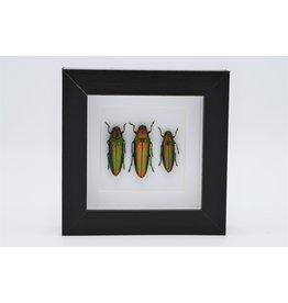 Nature Deco Prachtkevers in luxe 3D lijst