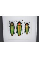 Nature Deco Prachtkever in luxe 3D lijst 12 x 12cm